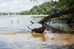 Hund som spelar vattenfetch med en trädfilial i Potomacet River bredvid den nyckel- bron Arkivbilder