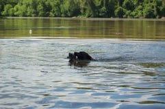 Hund som spelar vattenfetch med en trädfilial i Potomacet River bredvid den nyckel- bron Arkivbild