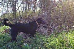 Hund som stirrar in i träden royaltyfri bild