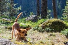 Hund som sträcker i skogen arkivbilder