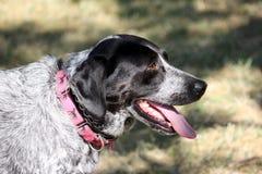 Hund som svalnar av i kupa Fotografering för Bildbyråer