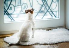 Hund som tänker och håller ögonen på och hoppas arkivfoton