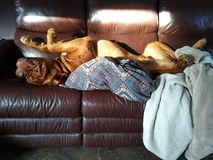 hund som tar en ta sig en tupplur Fotografering för Bildbyråer