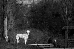 Hund som tjuter på månen Arkivfoton