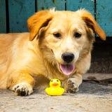 Hund som tuggar den gula gummianden för leksak arkivbild