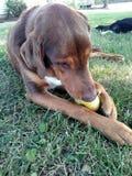 Hund som tuggar på en Apple Royaltyfria Foton