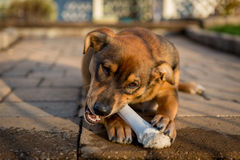 hund som tuggar på ett ben Arkivbild
