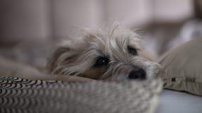 Hund som tyst ligger på soffan royaltyfri foto