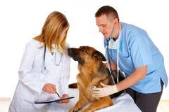 hund som undersöker två vets Arkivfoton