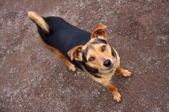 Hund som uppåt ser fotografering för bildbyråer