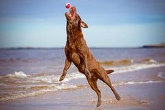 Hund som upp till hoppar låset en boll Arkivbilder