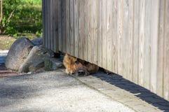 Hund som ut från under kikar ett staket Arkivbild