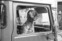 Hund som ut ser bilfönstret arkivfoton
