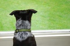 hund som ut ser fönstret Royaltyfria Foton