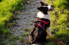 Hund som väntar på banan royaltyfri bild