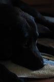 hund som väntar på maten Arkivfoton