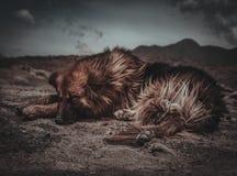 Hund som vilar i Patagonia arkivbilder