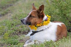 Hund som vilar med en krans av gula blommor Royaltyfri Foto