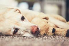 Hund som vilar med hans flotta leksak Arkivbild