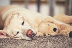 Hund som vilar med hans flotta leksak Arkivfoton