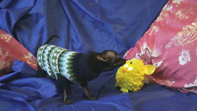 Hund SpielzeugTerrier bellt und spielt mit einem gelben Spielzeug stock footage