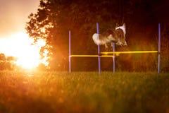 Hund springt über die Hürden und bildet für eine Beweglichkeit parcours in der Natur aus lizenzfreie stockfotos