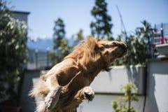 Hund springt Lizenzfreie Stockfotografie