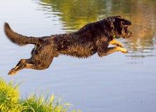 Hund springt in das Wasser vom Ufer Lizenzfreies Stockfoto