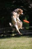 Hund springt für Frisbeeplatte Lizenzfreie Stockfotos