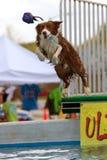 Hund springt für Spielzeug über Pool Stockfotografie