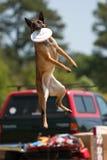 Hund springt hoch, um Frisbee im Mund abzufangen Stockbild