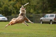 Hund springt, um Frisbee im Mund abzufangen Lizenzfreie Stockfotos