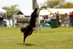 Hund springt und öffnet Mund, um Frisbee abzufangen Stockbilder