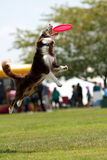 Hund springt und öffnet Mund weit, um Frisbee abzufangen Stockfoto