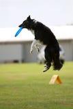 Hund springt und fängt Frisbee im Mund ab Lizenzfreies Stockfoto