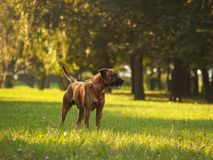 Hund/Stafford Lizenzfreie Stockfotos