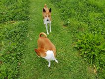 Hund- Stalker Fotografering för Bildbyråer