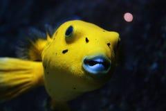 Hund stellte Pufferfish gegenüber Lizenzfreies Stockbild