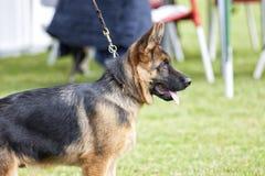 Hund- strid Royaltyfria Bilder