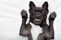 Hund-surpise im Bett Stockfotografie