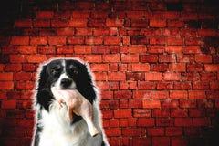 Hund svartvita Border collie med rått kött royaltyfria foton