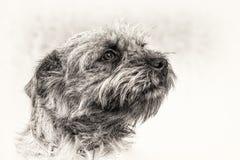 Hund terrier, huvud, lydnad, lojalitet, förtroende, svart, vit, sta Royaltyfri Bild