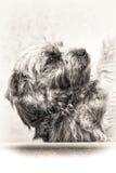 Hund terrier, undergivenhet, huvud, lojalitet, svart, vit, closeup, Royaltyfria Bilder