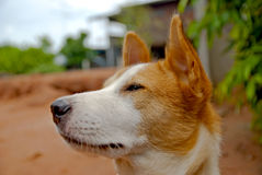 Hund in Thailand Stockfotografie