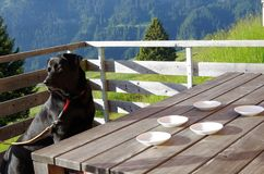 Hund am Tisch und an den leeren Untertassen Stockbilder