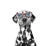 Hund trägt Gläser er hat sehr Sehschwäche Lizenzfreie Stockbilder