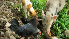 Hund, tupp och svin som tillsammans äter Royaltyfria Bilder