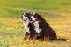 Hund två på solnedgången royaltyfri fotografi