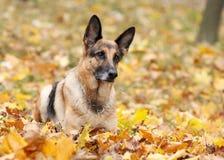 Hund tysk herde i höstträt Arkivfoto