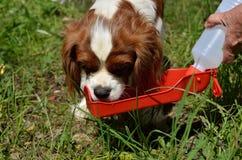 Hund, unbekümmertes Trinkwasser König-Charles Spaniel (Blenheim) vom Wasserspender Lizenzfreies Stockfoto